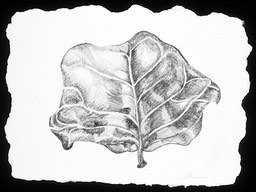 ©2003 Jan Aronson Aguilla Leaf #6 Graphite 6.5x8.5
