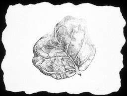 ©2003 Jan Aronson Aguilla Leaf #10 Graphite 6.5x8.5