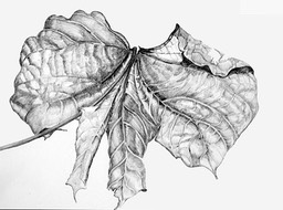 ©2004 Jan Aronson Leaf 2-1 Graphite 11x14