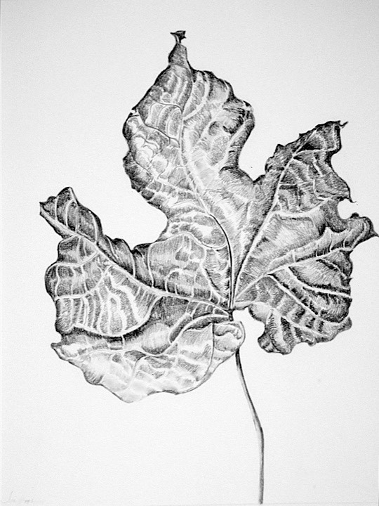 ©2004 Jan Aronson Leaf 2-8 Graphite 14x11